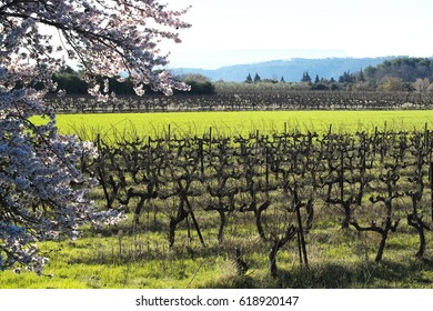 Spring landscape. Almond blossom and vineyard. Provence. France.