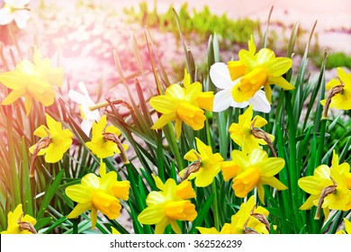 Spring landscape. beautiful spring flowers daffodils. yellow flowers.
