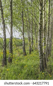 Spring landscape with a birch grove
