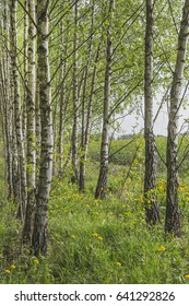 Spring landscape with a birch grove. Nature in the vicinity of Pruzhany, Belarus.