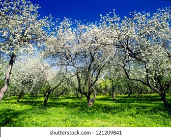 Spring landscape with blooming apple trees