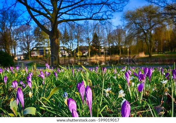 Spring landscape. Blooming crocuses in the park.