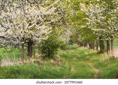 Spring landscape with cherry trees in blossom