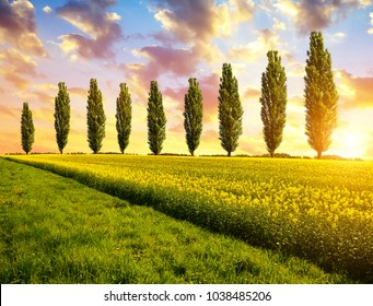 Spring landscape with field of rapeseed and poplar trees at sunset.