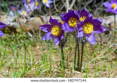 Spring landscape flowers growing wild spring stock photo edit now spring landscape flowers growing in the wild spring flower pulsatilla common names include mightylinksfo