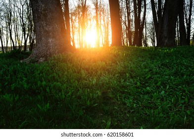 Spring landscape - forest trees with grass on the foreground and sunset light shining through the trees