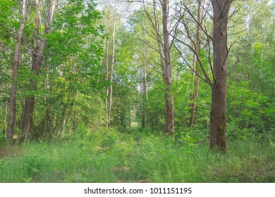 Spring landscape with green leaves on bushes and trees. Nature in the vicinity of Pruzhany, Brest region,Belarus.