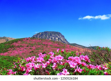 "It is the spring landscape of the ""Jijiji"" Hallasan Mountain, ""Jijijiwatatsu"", where the azalea flowers are blossoming."