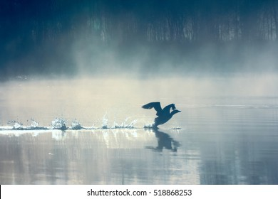 Spring landscape with Loon (misty morning). Bird were scattered on water of lake in misty forest. Picture has artistic value. Art style of photo.