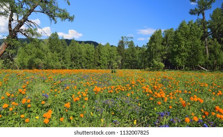 Spring landscape. Mountain meadow. Forest. The Altai Mountains. A bright sunny day.