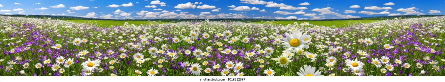 spring landscape panorama with flowering flowers on meadow. white chamomile and purple bluebells blossom on field. panoramic summer view of blooming wild flowers in meadow