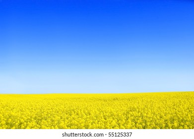Spring landscape. Picture of oilseed rapeseed on field and blue sky.
