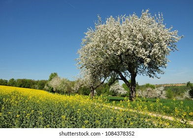 spring landscape with rapeseed field and flowering apple trees