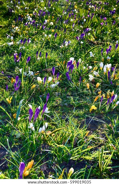 Spring landscape. Snowdrops and crocuses blooming in spring time.