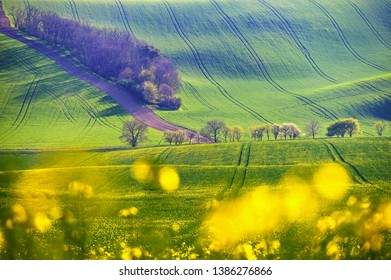 Spring landscape. Sunset Photo of Moravian Tuscany in Czech Republic. Wavy field with canola and trees.