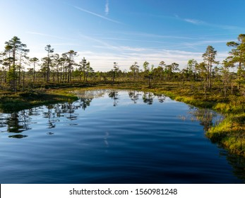 spring landscape in the swamp.  small swamp lakes, moss and swamp pines, calm swamp water and beautiful glare