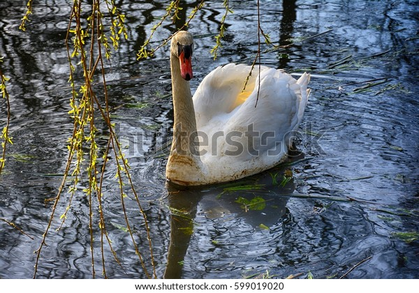 Spring landscape. Swan swimming in the lake in spring time scenery with weeping willow in the background.