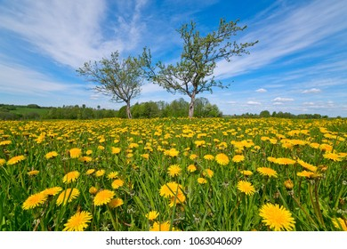 Spring landscape taken with a wide angle lens with flowering dandelions and picturesque gnarled Apple trees.
