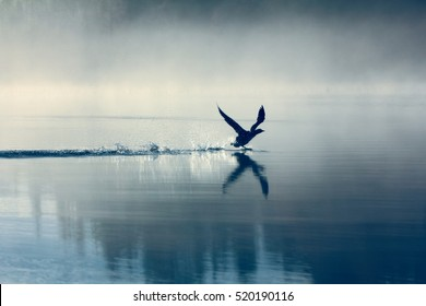 Spring landscape with takeoff Loon (misty morning). Bird were scattered on water of lake in misty forest. Picture has artistic value, fine art photography. Art style of photo.