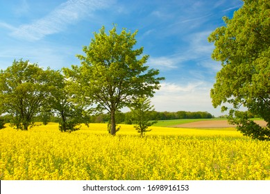 Spring landscape with trees in the rape field