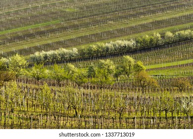 Spring landscape with vineyards and fruit trees. South of Moravia, Czech Republic.