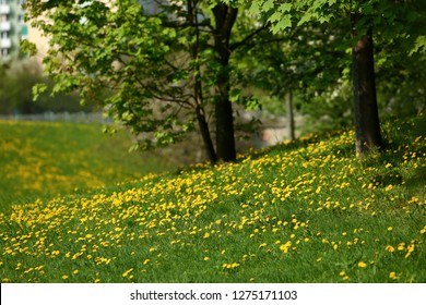 Spring landscape with yellow blooming dandelion flowers and beautiful deciduous trees and blue sky.