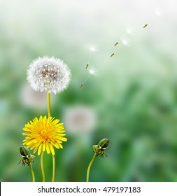 spring landscape with a young grass. dandelion flower