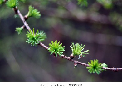 Spring larch branch