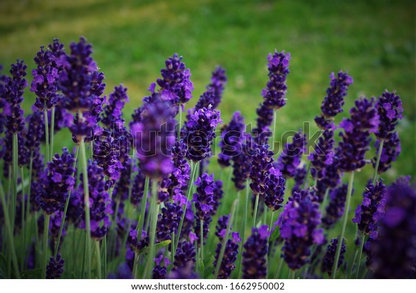 spring-lavender-background-flower-before