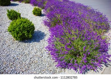 Spring lavender.Lavender farm.Landscape design.