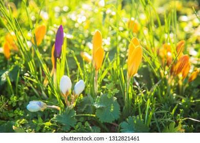 Spring lawn, spring background, spring flowers. Delicate fragile colorful crocus flowers in the wind.