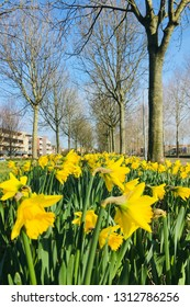 Spring lawn, spring background, spring flowers. Fragile tender flowers of daffodils in the wind.