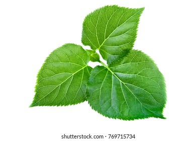 Spring leaf isolated on white. Young fresh new green leaf in close-up