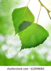 Spring leaves of birch on green nature background