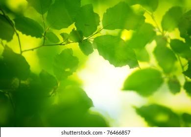 spring leaves in the morning light