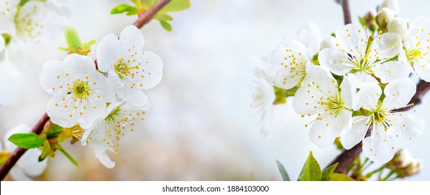 Spring light background with cherry blossoms. Dewdrops on cherry blossoms, panorama