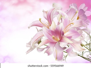 Spring light pink lily flowers