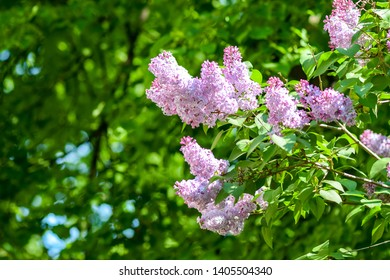 Spring lilac blossom in nature. Lilac tree branch blooming flowers