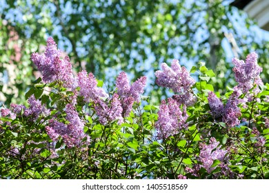 Spring lilac branch blooming view