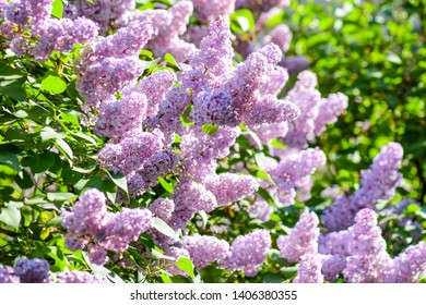 Spring lilac bush flowers view. Lilac bush blossoms. Spring lilac bush flowers