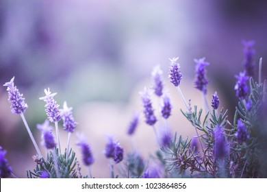 Spring. Lilac flowers on vintage pink background in field. Nature