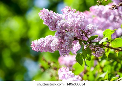 Spring lilac tree flowers view. Lilac blossom bloom spring. Lilac flowers in spring blooming