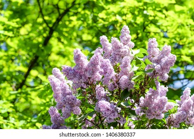 Spring lilac tree flowers view. Lilac flowers in spring blooming. Spring lilac blossom bloom scene