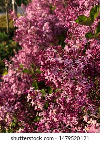 Spring Lilacs in the afternoon sun