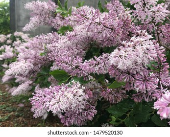 Spring Lilacs beginning to bloom