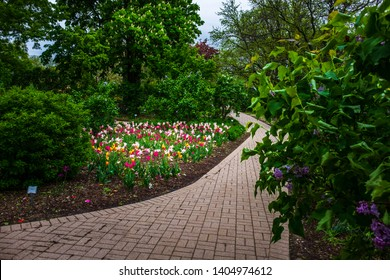 Spring lilacs and tulips in Lombard, Illinois