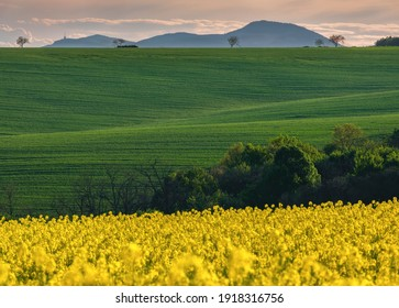 Spring lush green field sown with grain. In the background with trees and hills.