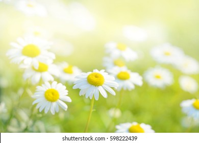 Spring marguerite daisy flowers field natural sunny background.