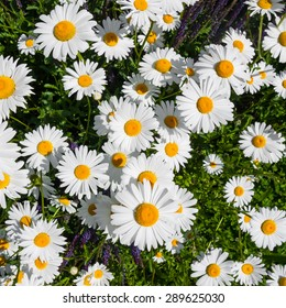 Spring meadow with blooming oxeye daisy flowers