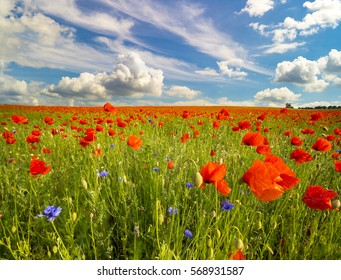 Spring meadow of blooming poppies against a blue sky